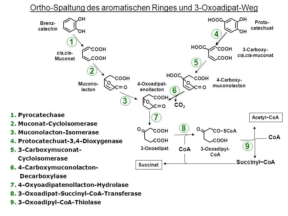 Ortho-Spaltung des aromatischen Ringes und 3-Oxoadipat-Weg