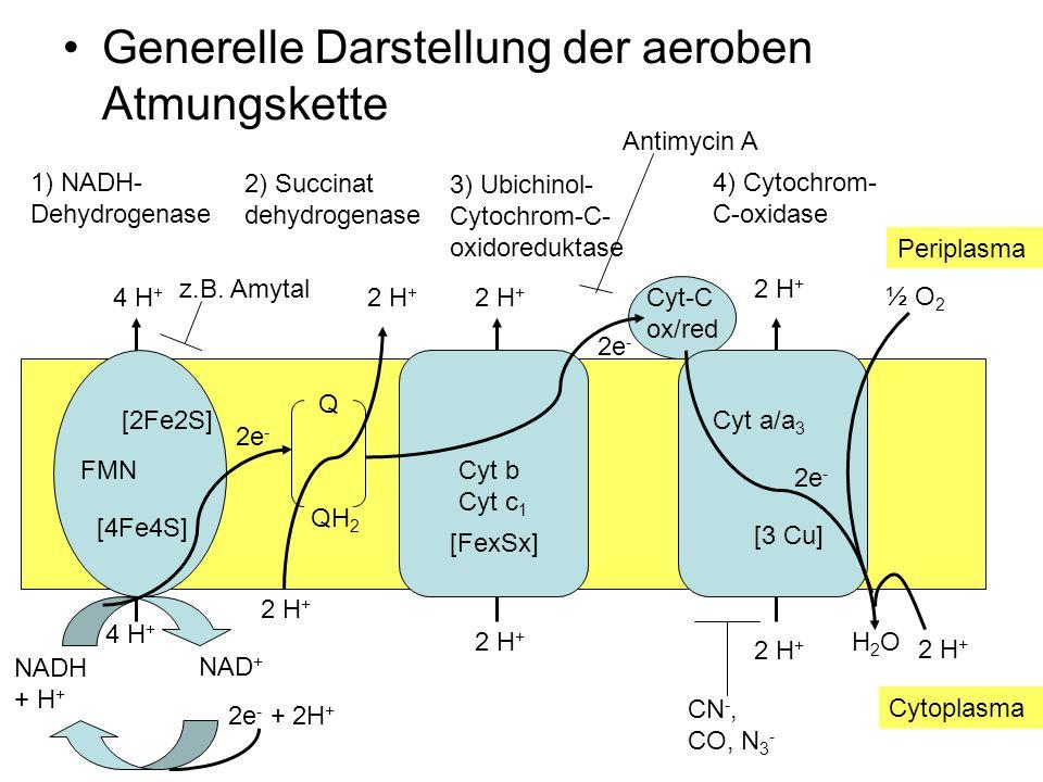 Generelle Darstellung der aeroben Atmungskette