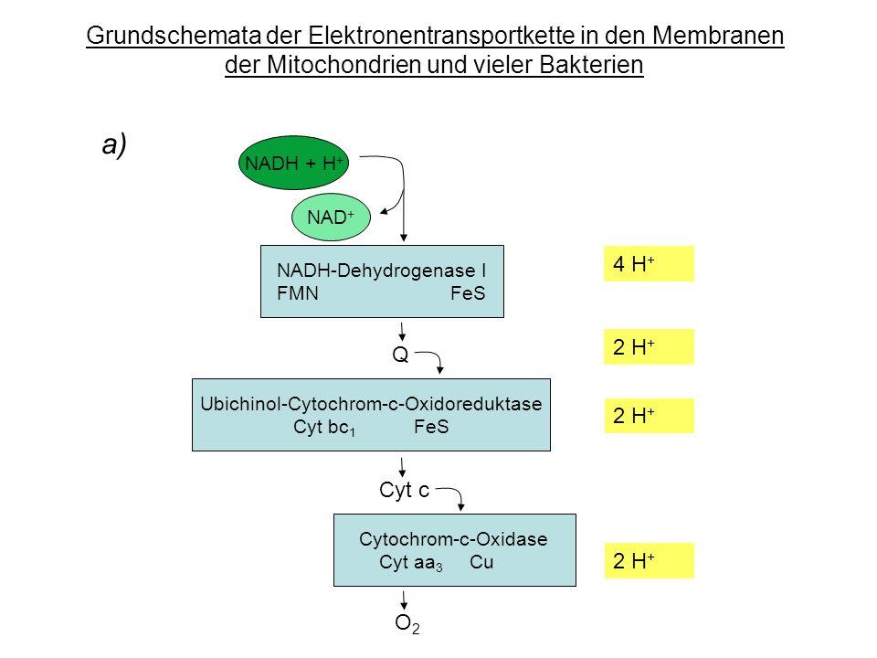 a) Grundschemata der Elektronentransportkette in den Membranen