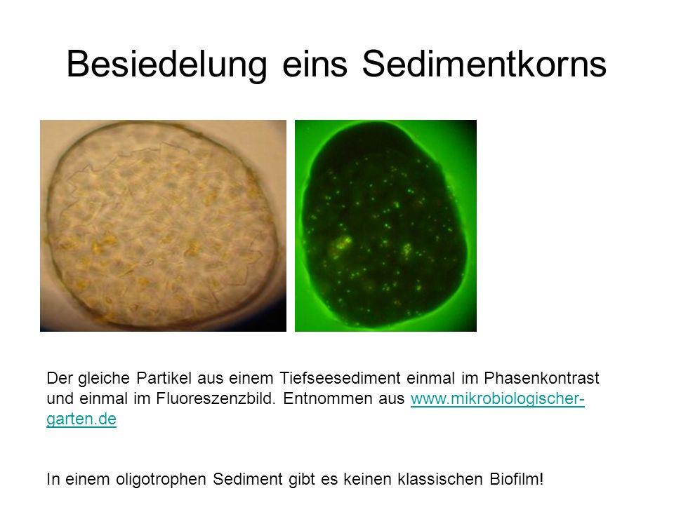Besiedelung eins Sedimentkorns
