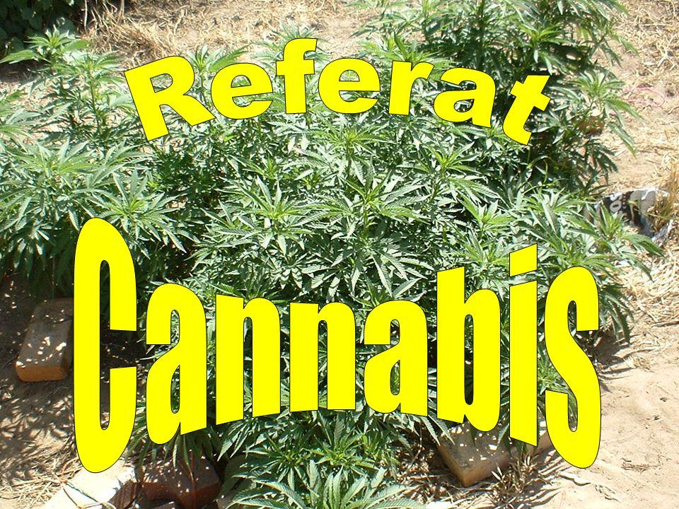 Referat Cannabis