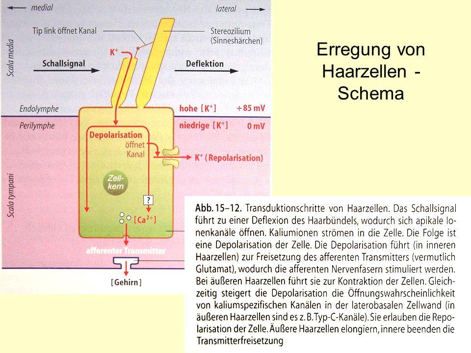 Erregung von Haarzellen - Schema