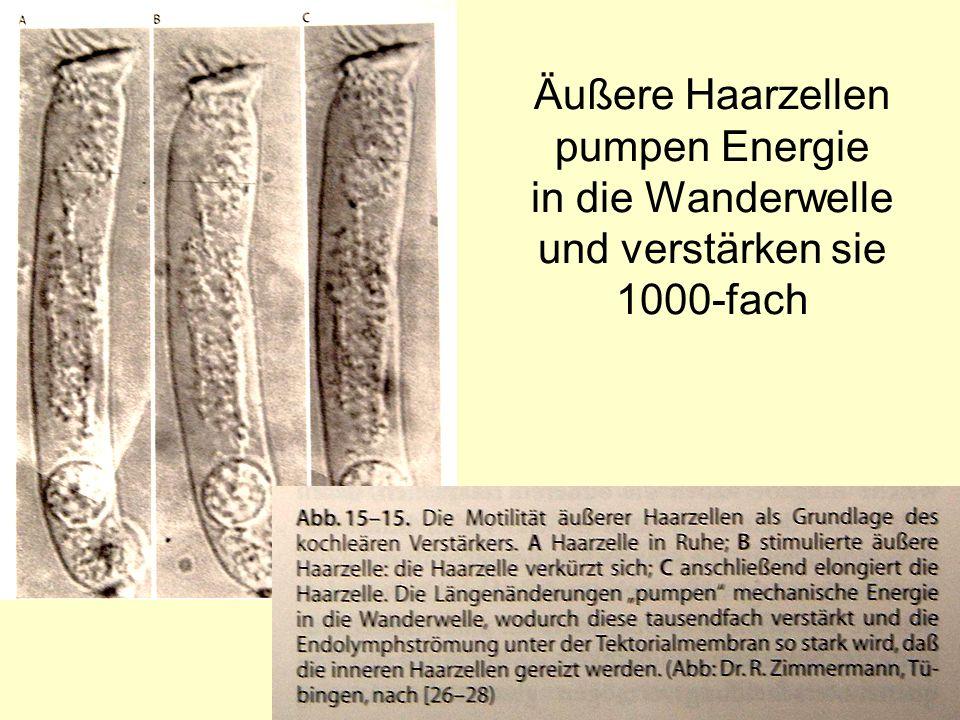 Äußere Haarzellen pumpen Energie in die Wanderwelle und verstärken sie 1000-fach