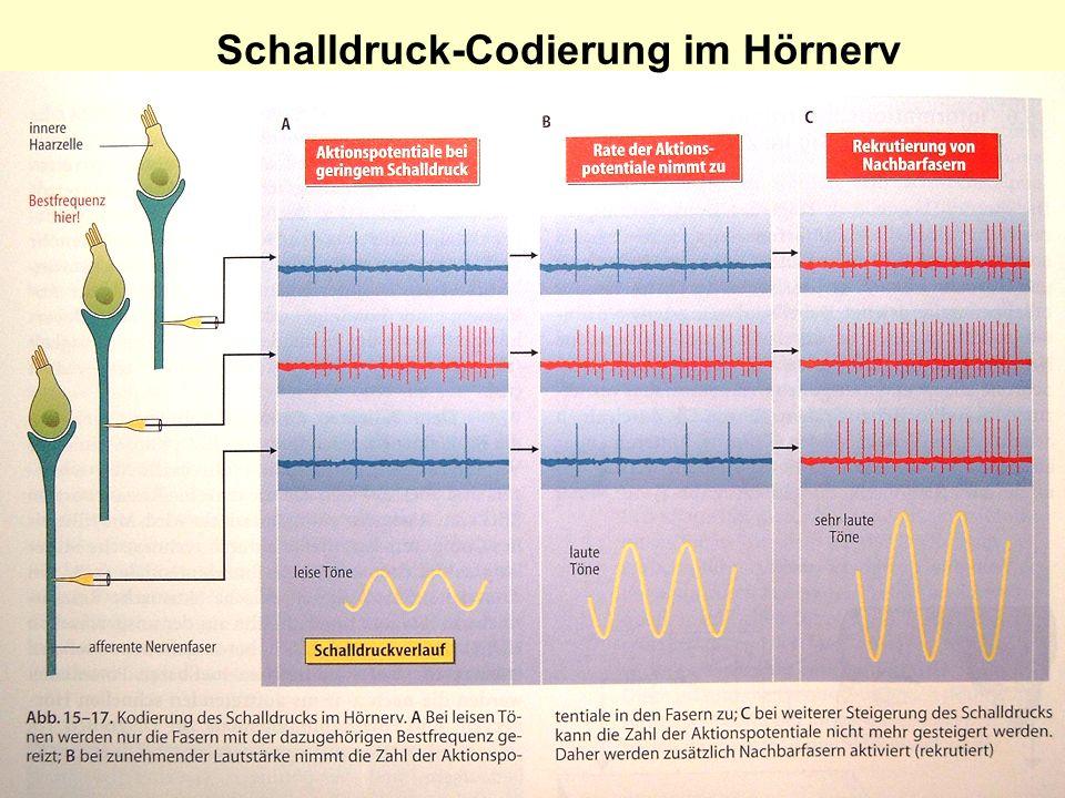 Schalldruck-Codierung im Hörnerv