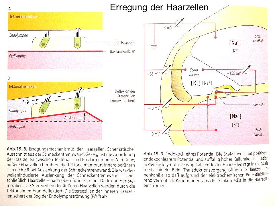 Erregung der Haarzellen