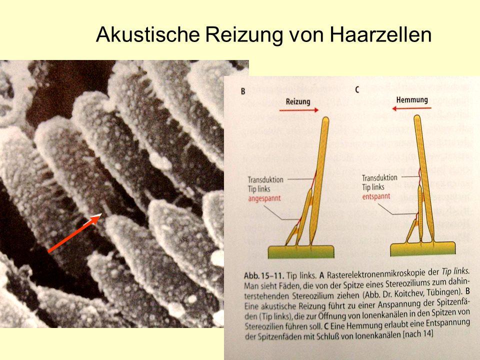 Akustische Reizung von Haarzellen