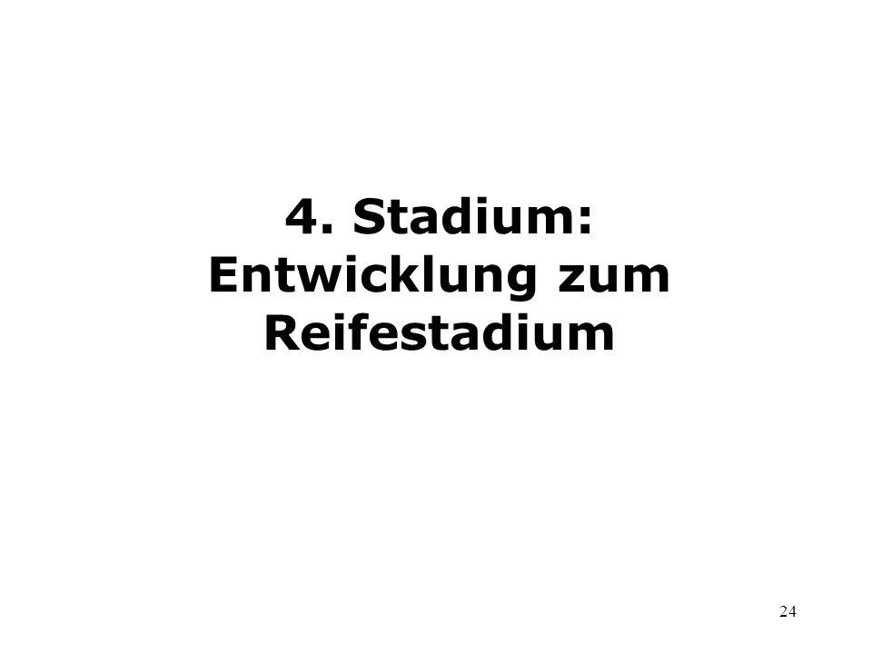 4. Stadium: Entwicklung zum Reifestadium