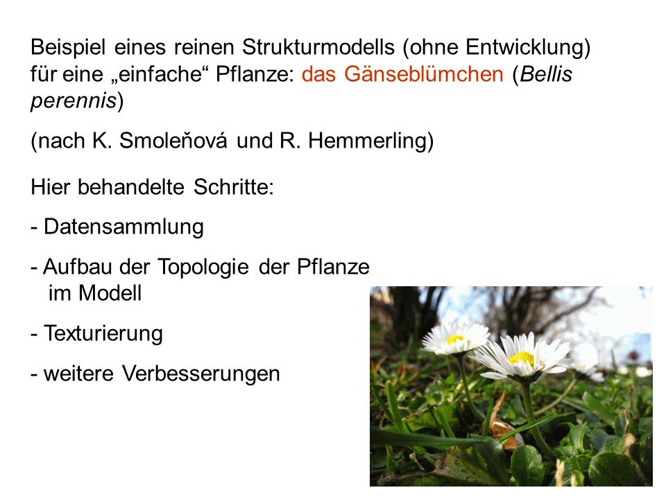 """Beispiel eines reinen Strukturmodells (ohne Entwicklung) für eine """"einfache Pflanze: das Gänseblümchen (Bellis perennis)"""