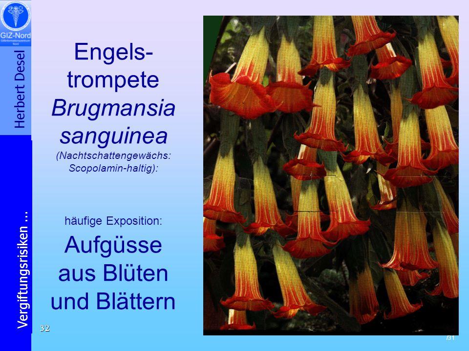 Engels-trompete Brugmansia sanguinea (Nachtschattengewächs: Scopolamin-haltig): häufige Exposition: Aufgüsse aus Blüten und Blättern