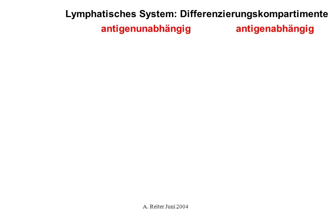 Lymphatisches System: Differenzierungskompartimente