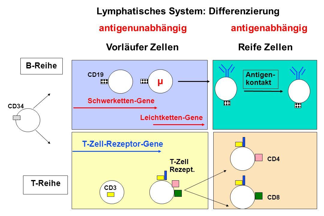 Lymphatisches System: Differenzierung