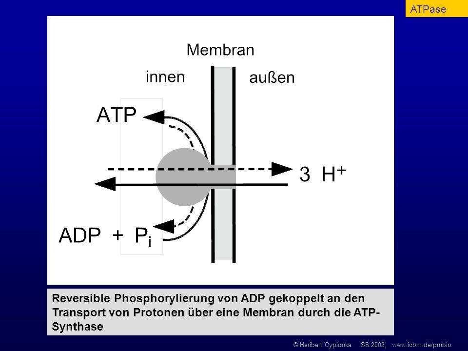 ATPaseReversible Phosphorylierung von ADP gekoppelt an den Transport von Protonen über eine Membran durch die ATP-Synthase.