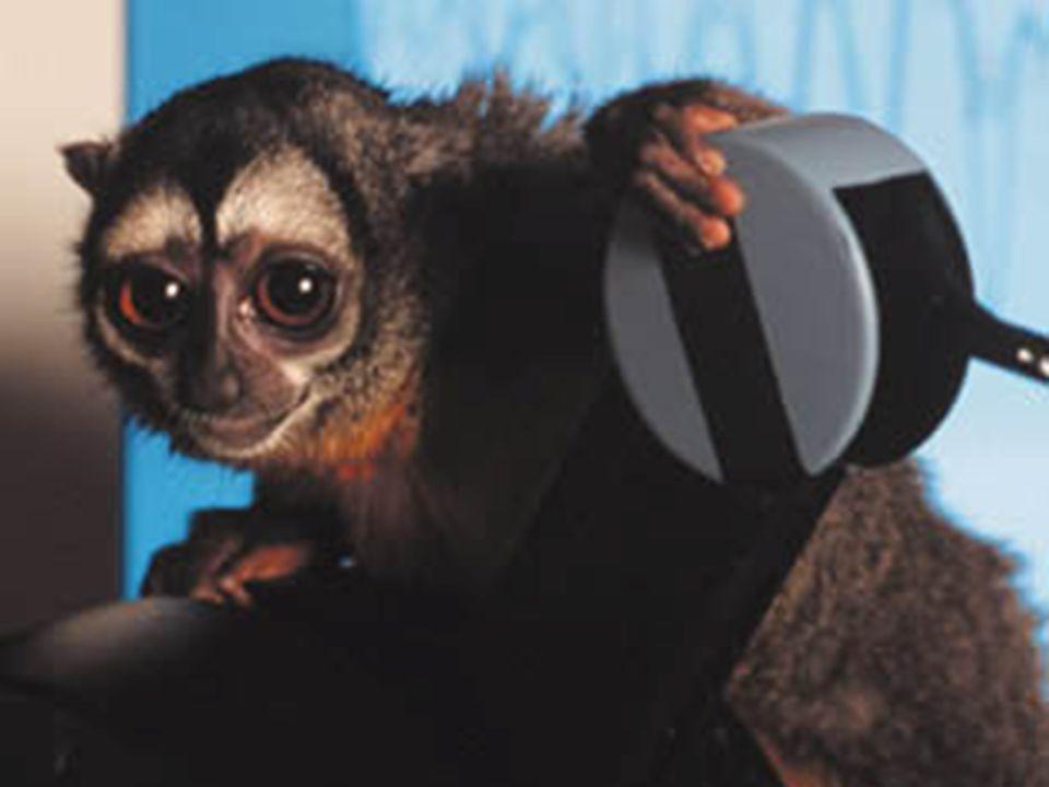 Affe trainierte 2 Wochen lang täglich 2 Stunden die Schwingungen kleiner Plättchen zu unterscheiden (20 vs.