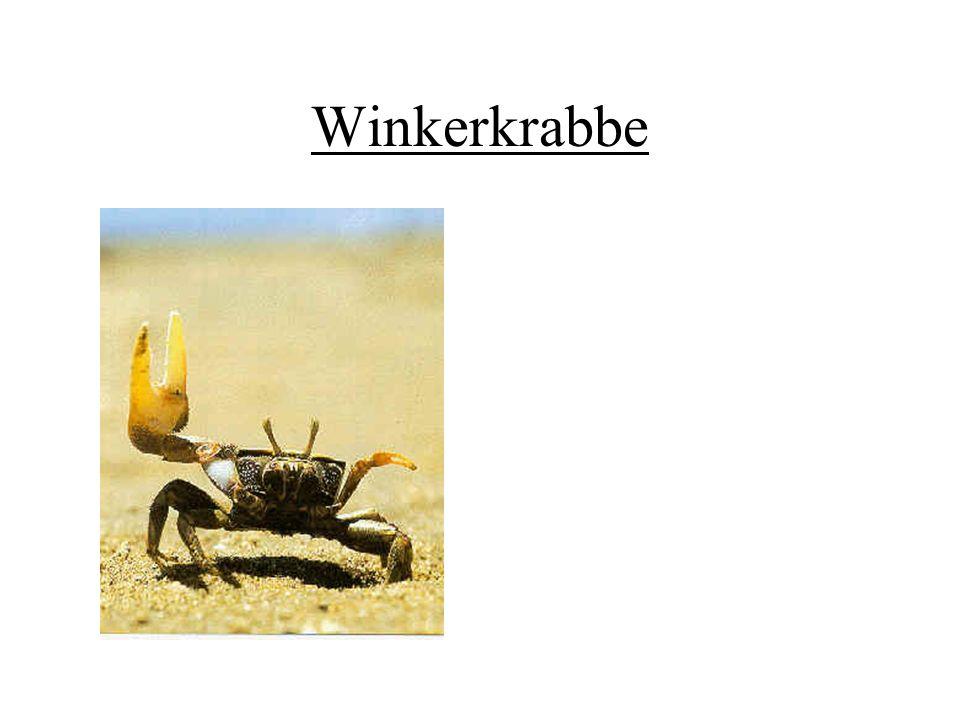 Winkerkrabbe