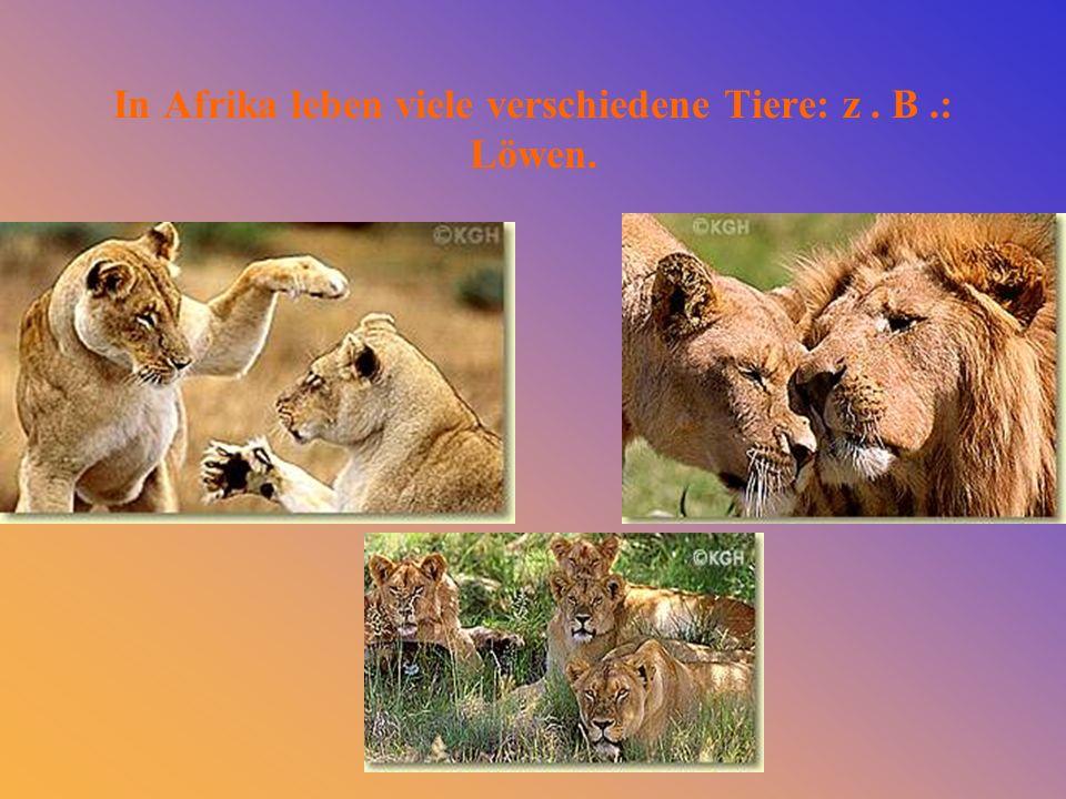 In Afrika leben viele verschiedene Tiere: z . B .: Löwen.