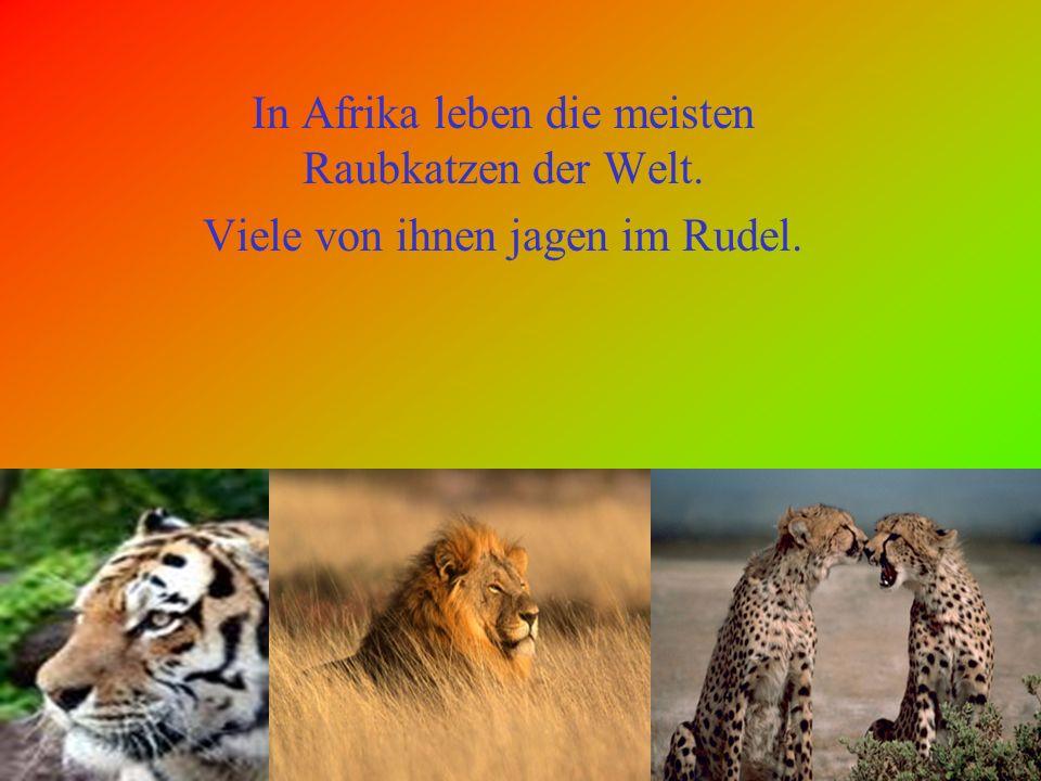 In Afrika leben die meisten Raubkatzen der Welt.