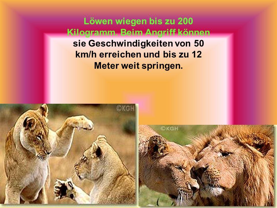 Löwen wiegen bis zu 200 Kilogramm