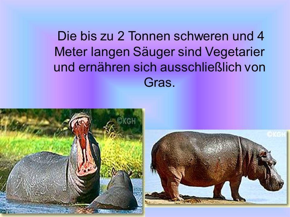 Die bis zu 2 Tonnen schweren und 4 Meter langen Säuger sind Vegetarier und ernähren sich ausschließlich von Gras.