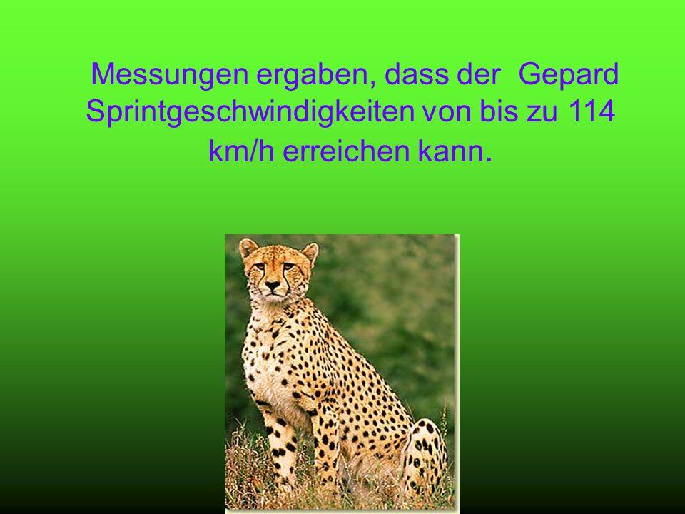 Messungen ergaben, dass der Gepard Sprintgeschwindigkeiten von bis zu 114 km/h erreichen kann.