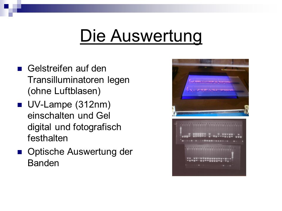 Die Auswertung Gelstreifen auf den Transilluminatoren legen (ohne Luftblasen)