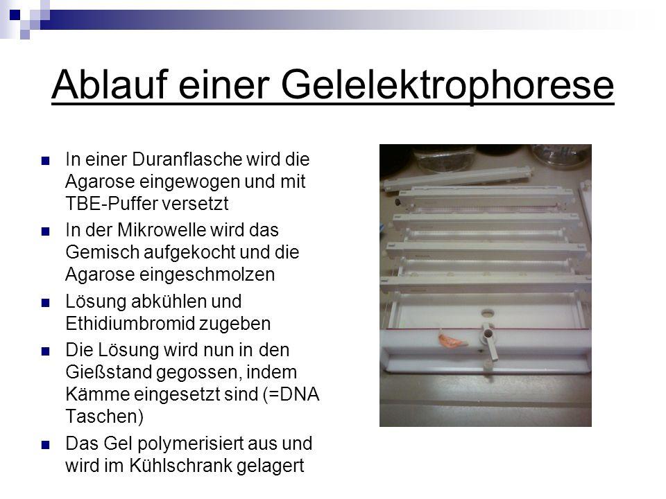 Ablauf einer Gelelektrophorese
