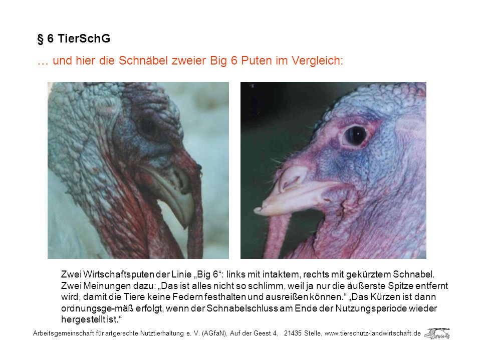 § 6 TierSchG … und hier die Schnäbel zweier Big 6 Puten im Vergleich:
