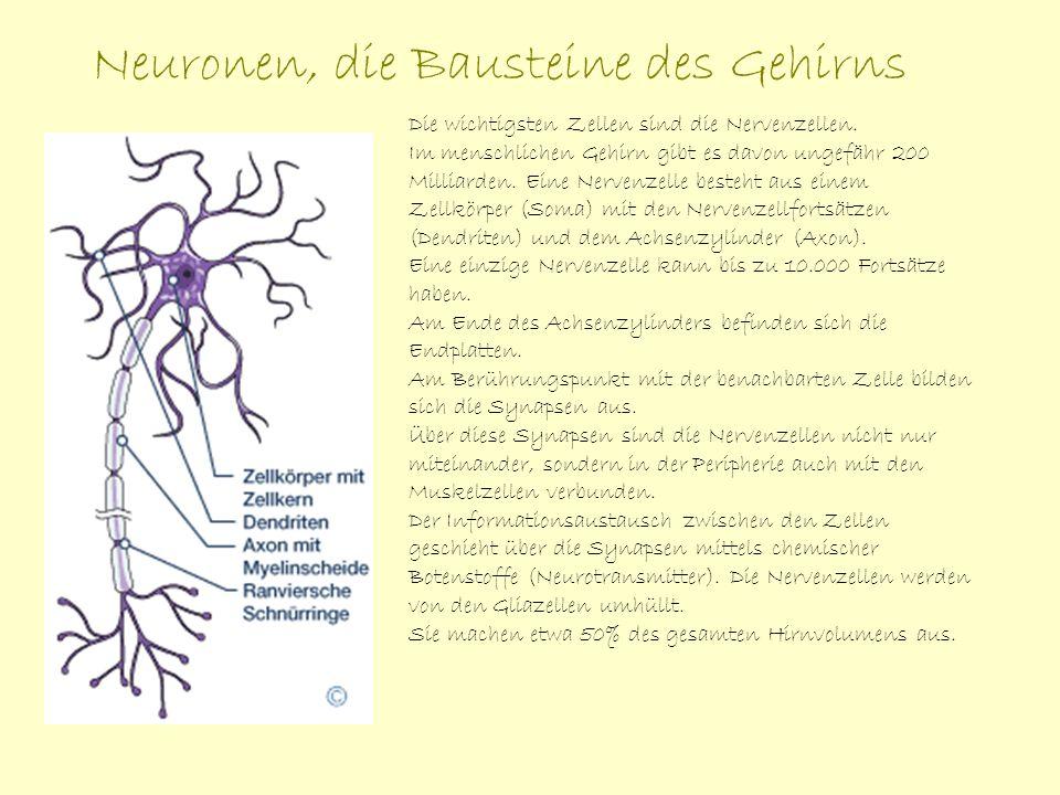 Neuronen, die Bausteine des Gehirns