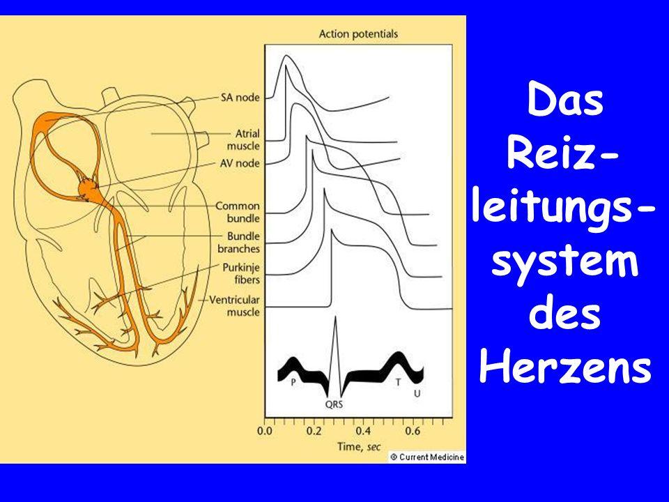 Das Reiz-leitungs-system des Herzens