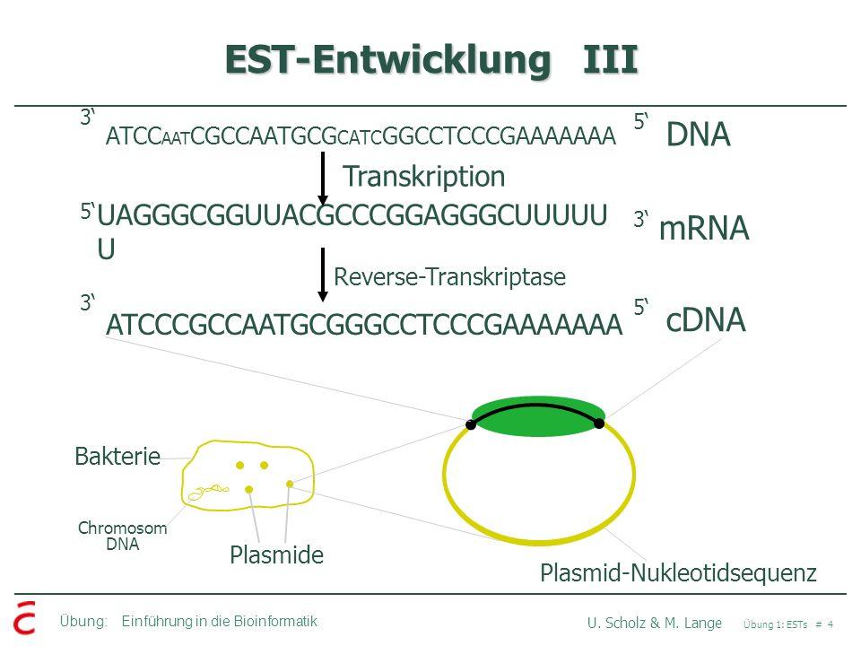 EST-Entwicklung III DNA mRNA cDNA Transkription