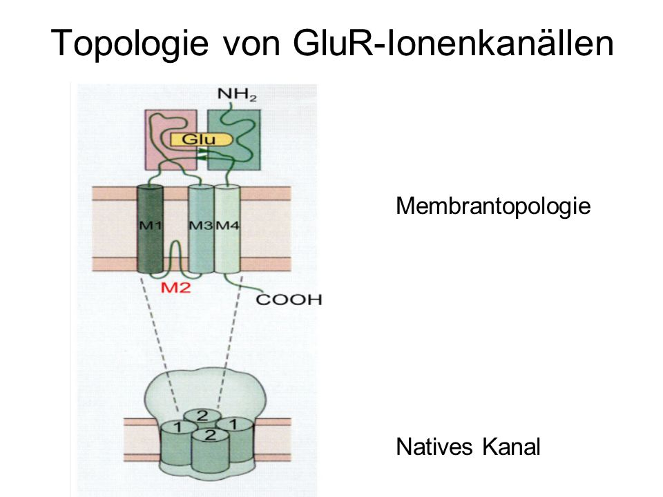 Topologie von GluR-Ionenkanällen