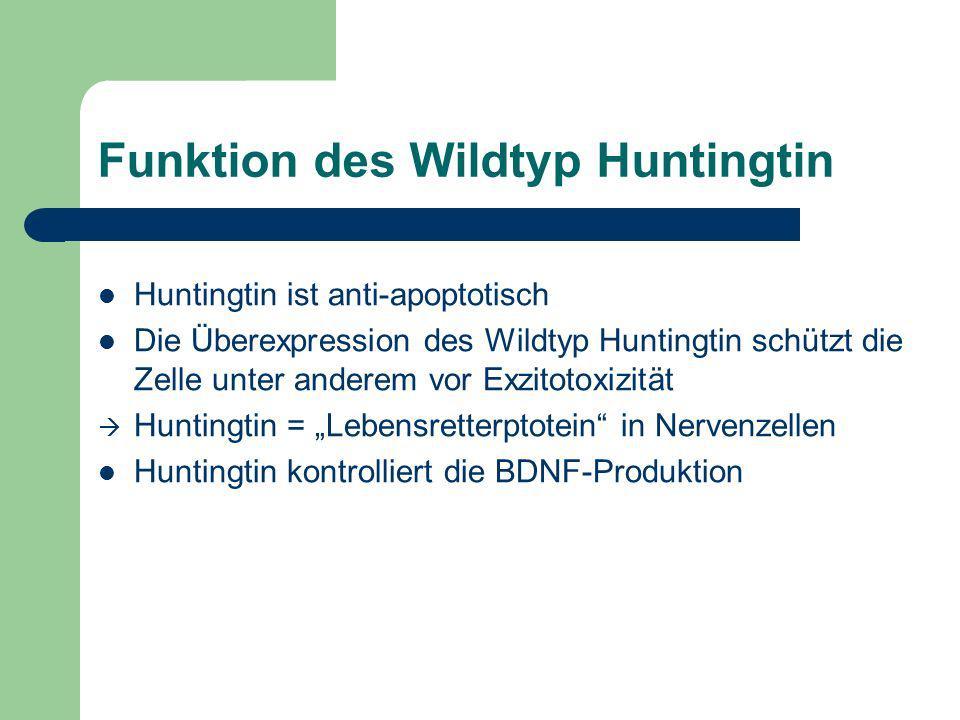 Funktion des Wildtyp Huntingtin