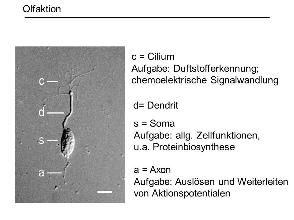 Olfaktion c = Cilium. Aufgabe: Duftstofferkennung; chemoelektrische Signalwandlung. d= Dendrit. s = Soma.