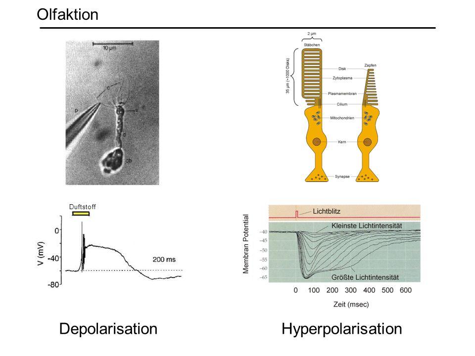 Olfaktion Duftstoff Depolarisation Hyperpolarisation