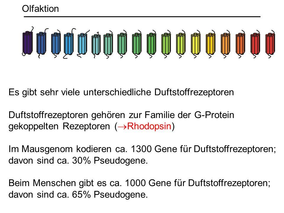 Olfaktion Es gibt sehr viele unterschiedliche Duftstoffrezeptoren. Duftstoffrezeptoren gehören zur Familie der G-Protein.