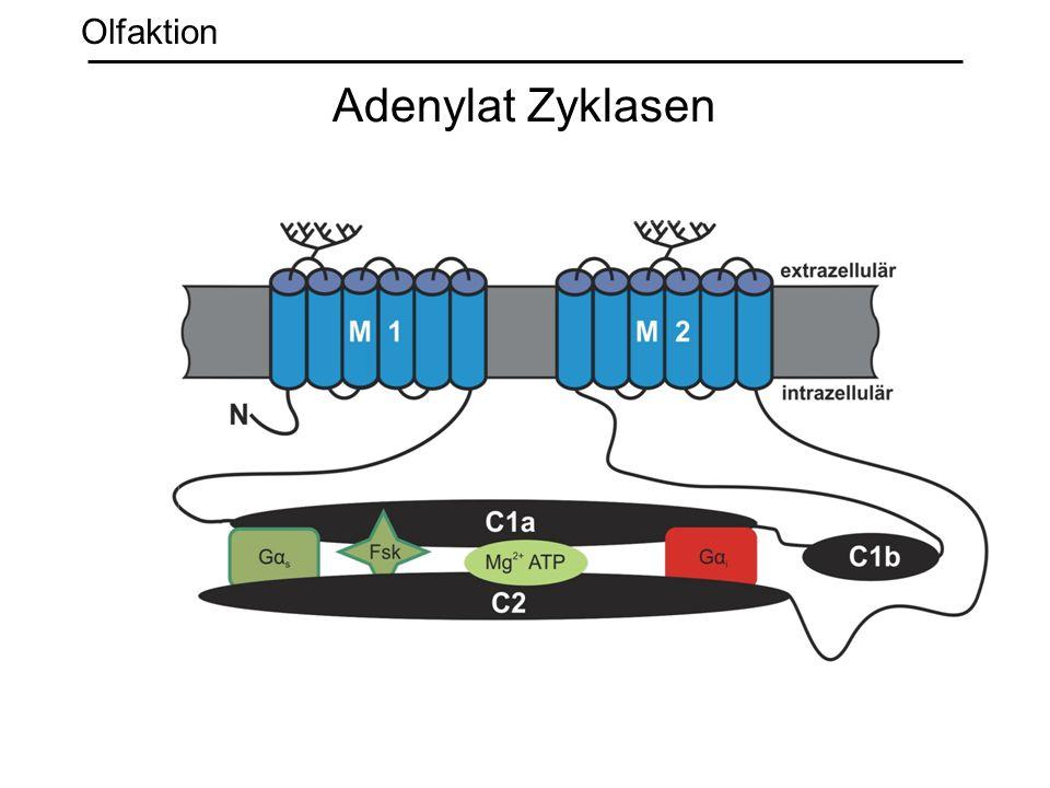 Olfaktion Adenylat Zyklasen