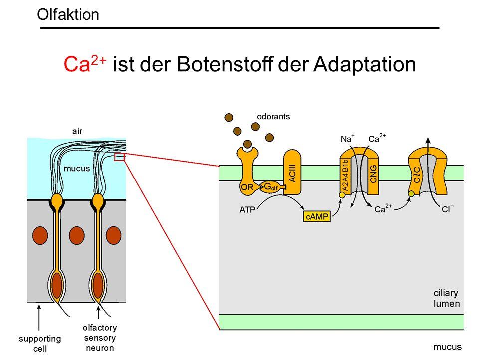 Ca2+ ist der Botenstoff der Adaptation