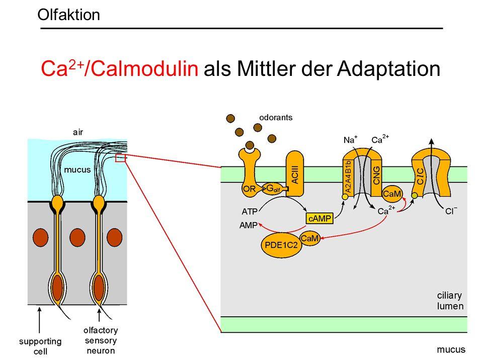 Ca2+/Calmodulin als Mittler der Adaptation