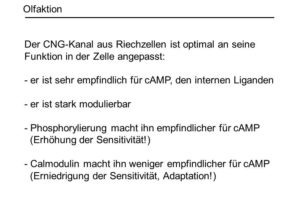 Olfaktion Der CNG-Kanal aus Riechzellen ist optimal an seine. Funktion in der Zelle angepasst: