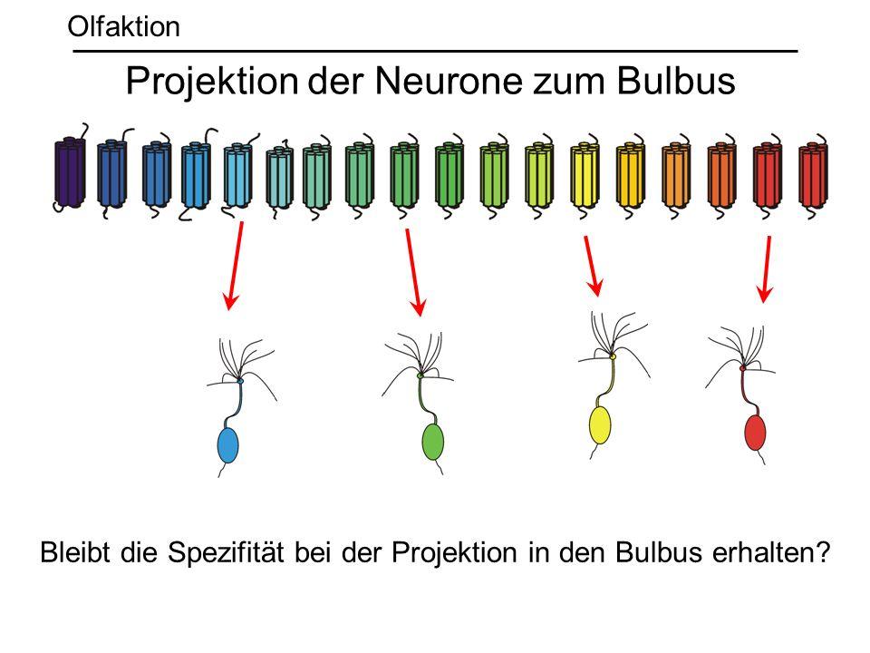 Projektion der Neurone zum Bulbus