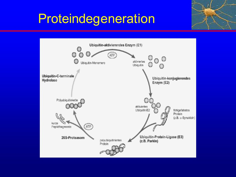 Proteindegeneration