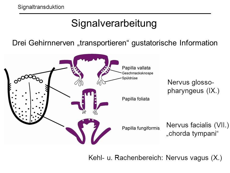 "Drei Gehirnnerven ""transportieren gustatorische Information"