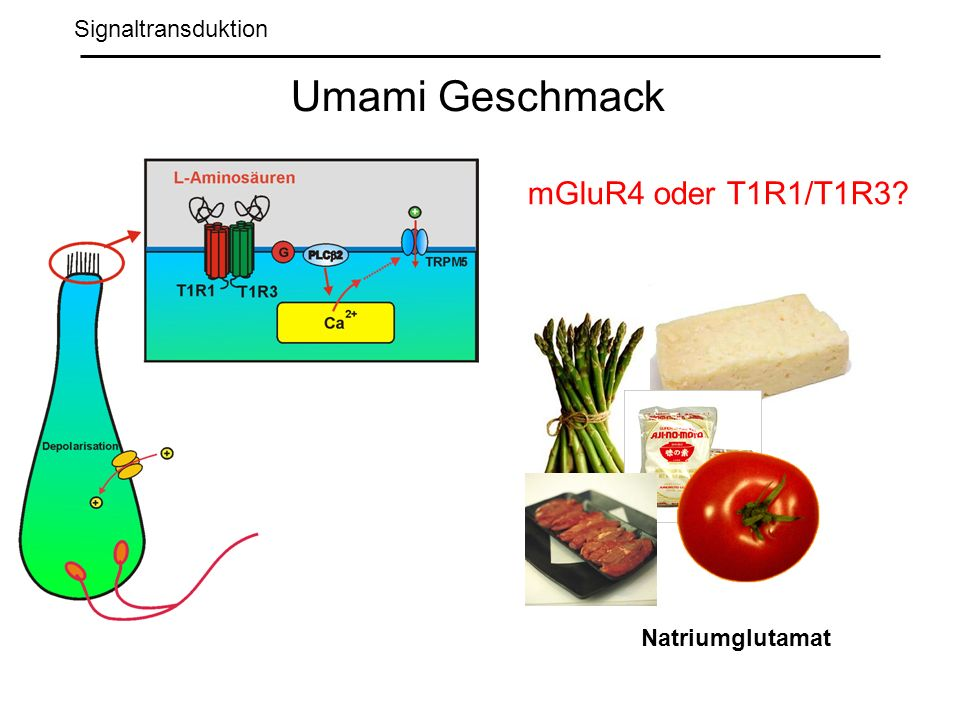 Umami Geschmack mGluR4 oder T1R1/T1R3 Signaltransduktion