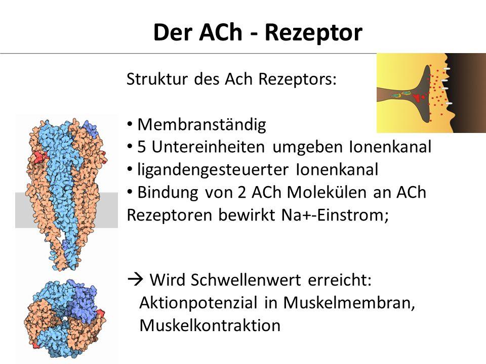 Der ACh - Rezeptor Struktur des Ach Rezeptors: Membranständig