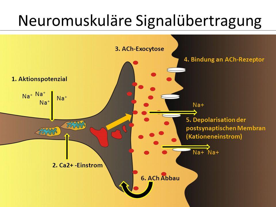 Neuromuskuläre Signalübertragung