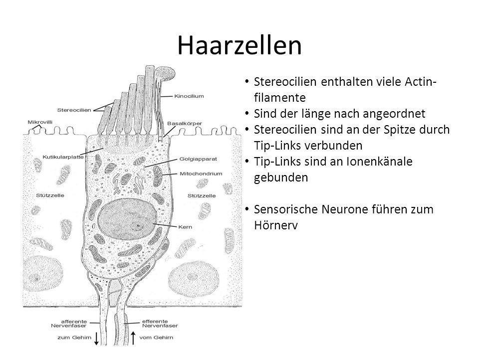 Haarzellen Stereocilien enthalten viele Actin-filamente