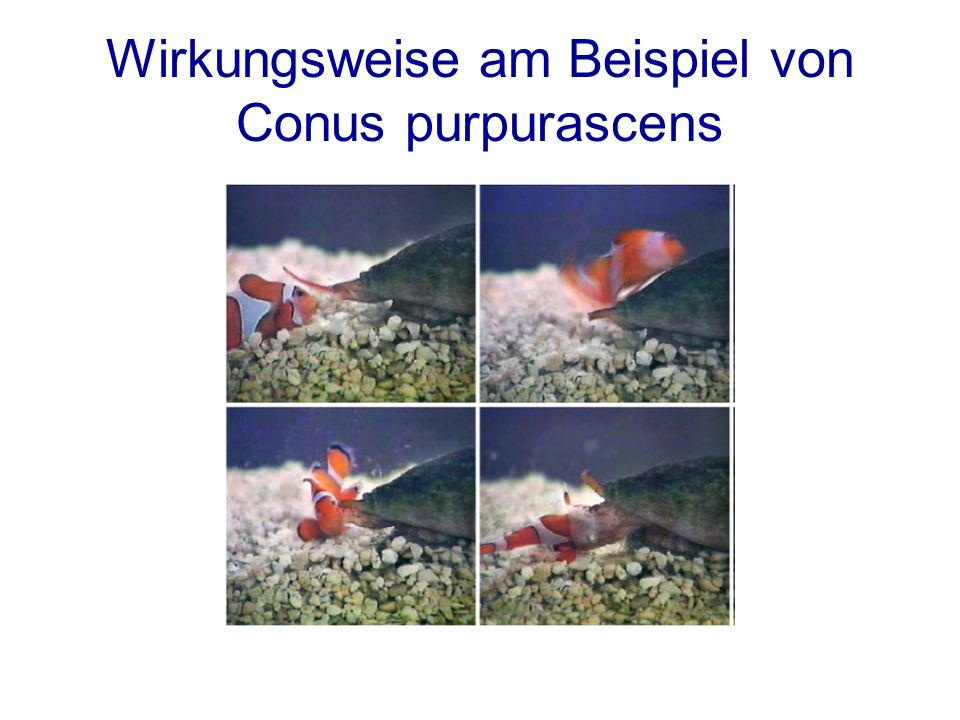 Wirkungsweise am Beispiel von Conus purpurascens