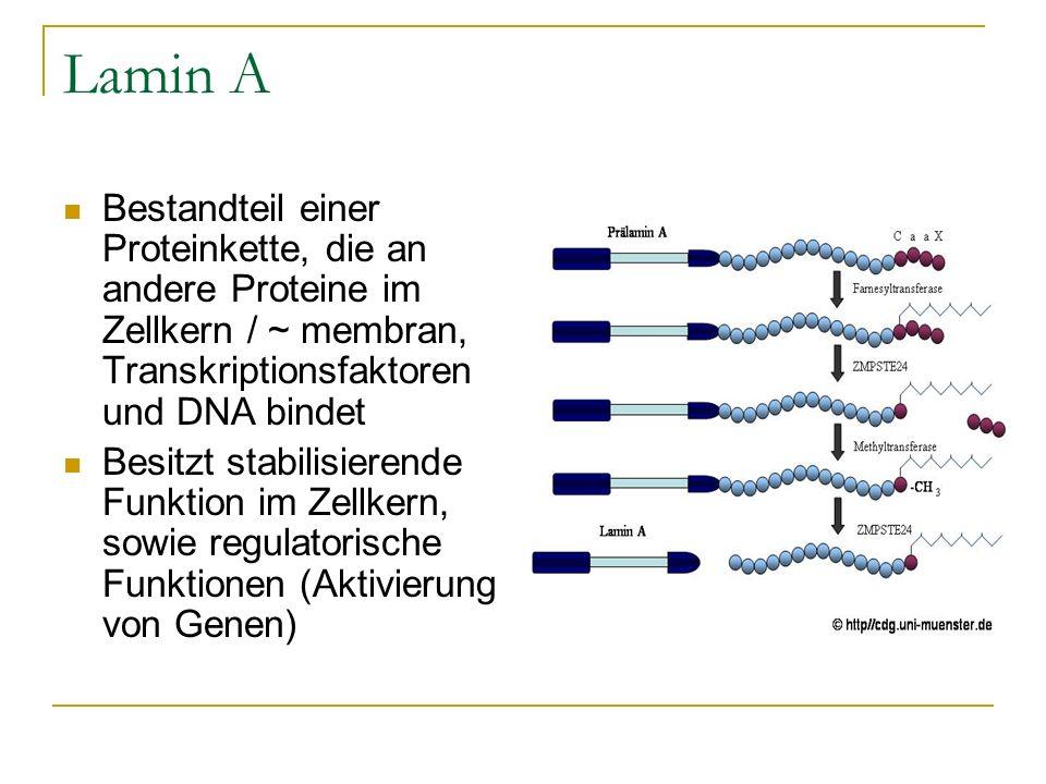 Lamin ABestandteil einer Proteinkette, die an andere Proteine im Zellkern / ~ membran, Transkriptionsfaktoren und DNA bindet.
