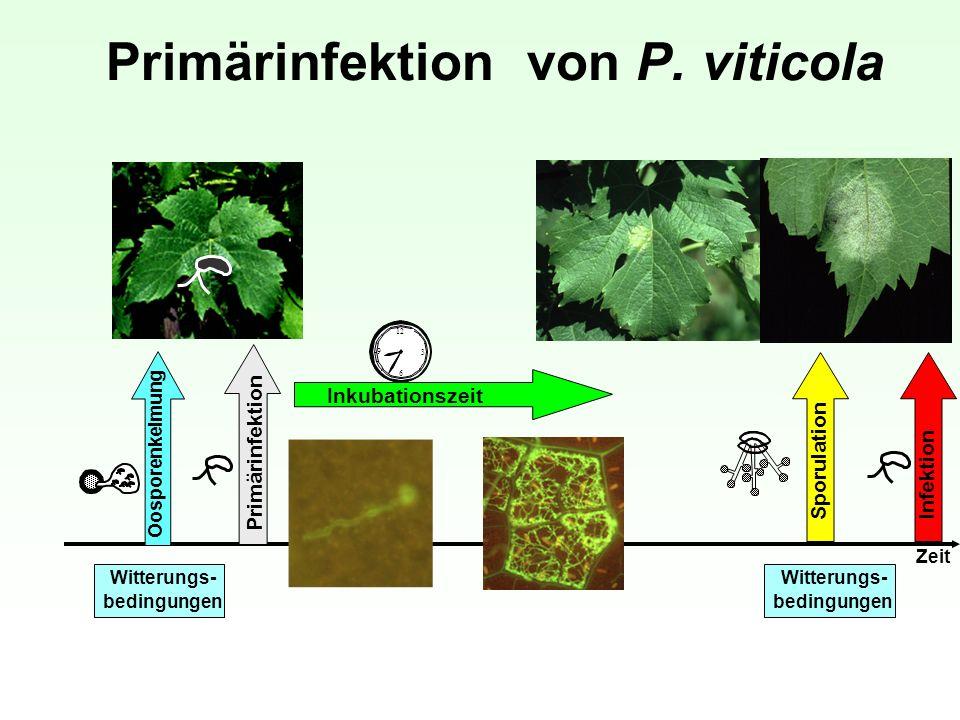 Primärinfektion von P. viticola