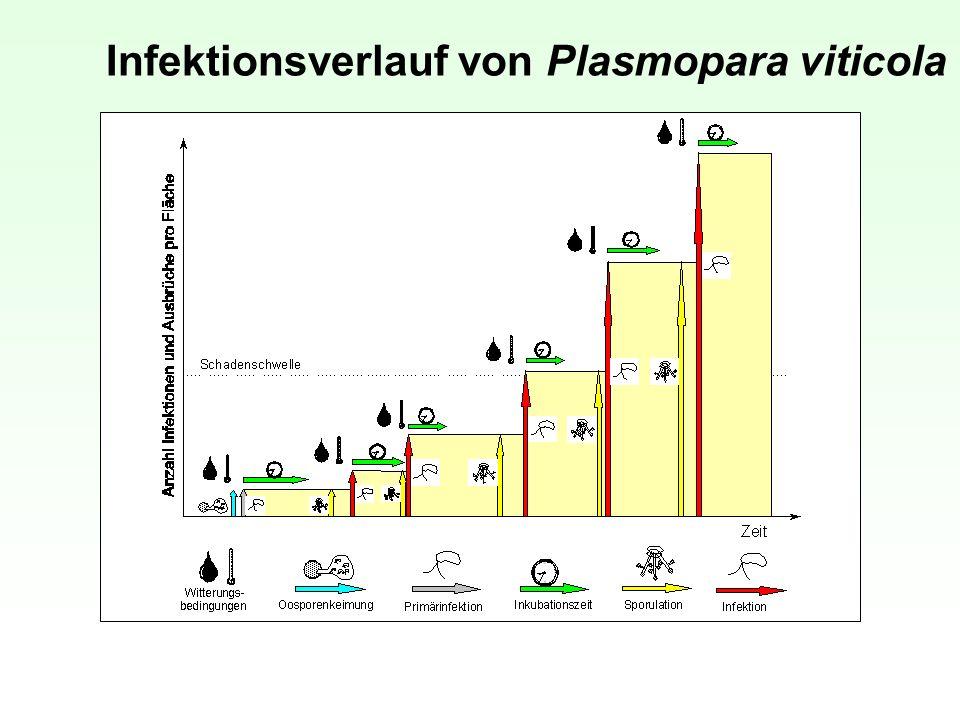 Infektionsverlauf von Plasmopara viticola