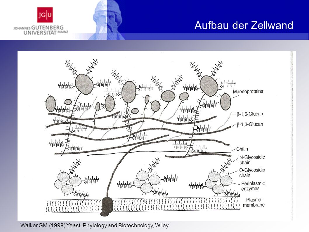 Aufbau der Zellwand Walker GM (1998) Yeast. Phyiology and Biotechnology, Wiley